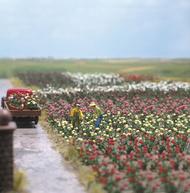 Busch 1205 - 120 Roses - Fleurs miniatures 1:87 - HO