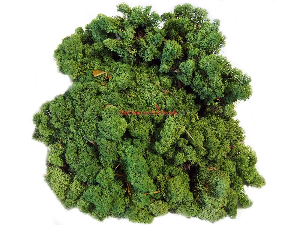 Lichen naturel stabilisé vert